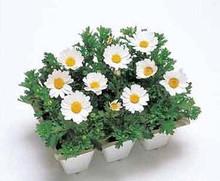 Chrysanthemum Snowland