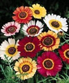 Chrysanthemum Rainbow Mix