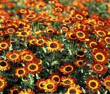 Chrysanthemum German Flag