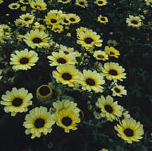 Chrysanthemum Eastern Star