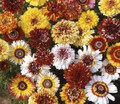 Chrysanthemum Dunnetti Double Mix