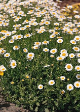 Chrysanthemum Button White