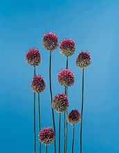 Herb Seeds - Chives Large Leaf