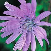 Herb Seeds - Chicory
