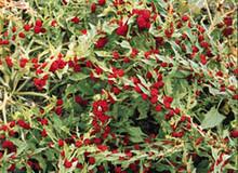 Chenopodium Strawberry Spinach