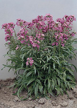 Cheiranthus Little Kiss Lilac