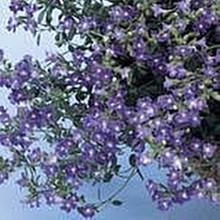 Chaenorrhinum Origanifolium Summer Skies