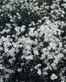 Cerastium Snow In Summer Beibersteinii