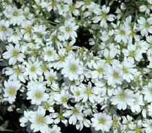 Cerastium Snow In Summer Tomentosum