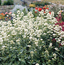Centranthus Valerian Ruber White Snowcloud