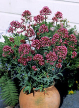 Centranthus Valerian Ruber Rosy Red