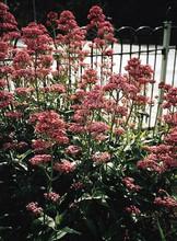 Centranthus Valerian Ruber Pretty Betsy