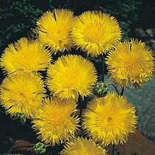 Centaurea Sweet Sultan Yellow