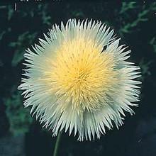 Centaurea Florence Series White