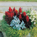Celosia New Look Annual