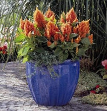 Celosia Fresh Look Series Orange