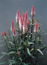 Celosia Flamingo Feather