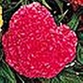 Celosia Chief Series Rose