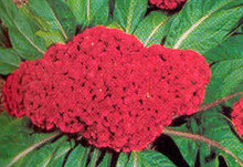 Celosia Century Series Mix