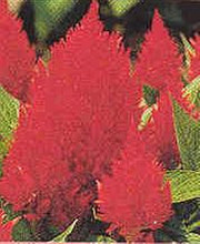 Celosia Century Series Red Bronze Leaf