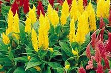 Celosia Castle Series Yellow Annual