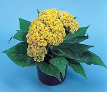Celosia Amigo Series Yellow