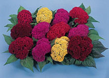 Celosia Amigo Series Mix