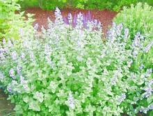 Herb Seeds - Catnip