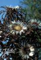 Carlina Acaulis ssp. simplex 'Bronze' Perennial Seeds