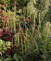 Ornamental Grass Seed - Carex Pendula Maxima