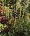 Ornamental Grass Seed - Carex Pendula Maxima