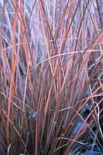 Ornamental Grass Seed - Carex Buchananii