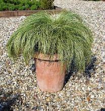 Ornamental Grass Seed - Carex Amazon