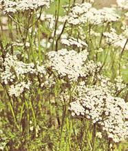Herb Seeds - Caraway