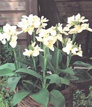 Canna Tropical Series White
