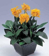 Canna Tropical Series Yellow