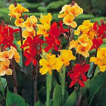 Canna Large Flowered Hybrids