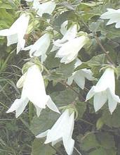 Campanula Bellflower Alliariifolia