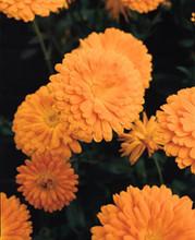 Calendula Prince Series Orange