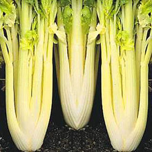 Celery Gold Self Blanching