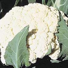Cauliflower Self Blanche