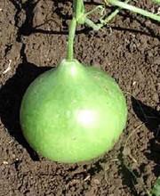 Bushel Oramental Gourd