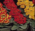 Calceolaria Valentine Hybrids