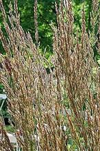 Ornamental Grass Seed - Calamagrostis Stricta