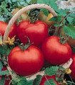 Cal Ace VF Tomato Seed
