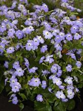 Browallia Cascade Sky Blue