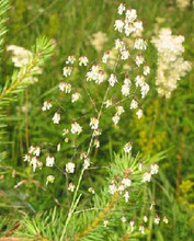 Ornamental Grass Seed - Briza Media Quaking Grass