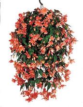 Begonia Tuberous Illumination Series Salmon Pink