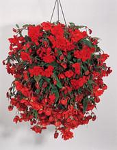 Begonia Tuberous Illumination Series Orange