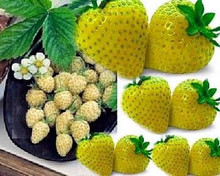 Yellow Wonder Strawberry